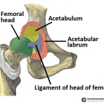Bony-Surfaces-of-the-Hip-Joint-Head-of-Femur-and-Acetabulum 2