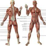 Muscle-corps-humain-1024x742