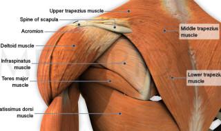 anatomy-trapezius-muscles 2