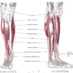 anterior-leg