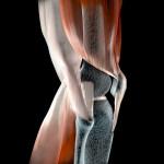 Ginocchio legamenti tendini ossa muscoli ai raggi x