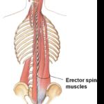 erector-spinae-e1451586672118
