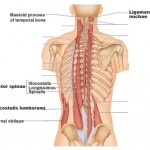 erector-spinae-iliocostalis-longissimus-spinalis-450x380