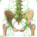 front-view-lymphatic-system-skeleton-26202927