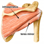 infraspinatus-teres-minor-muscle-300x283