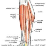 lateral-leg-muscles-5433978f21bd1