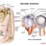 shoulder-anatomy 2