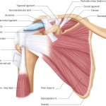 shoulder-muscle-anatomyy