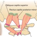 suboccipital_muscles-14249DE368953181982